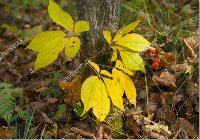 stock-photo-a-close-up-of-the-most-famous-medicinal-plant-ginseng-panax-ginseng-autumn-66472750